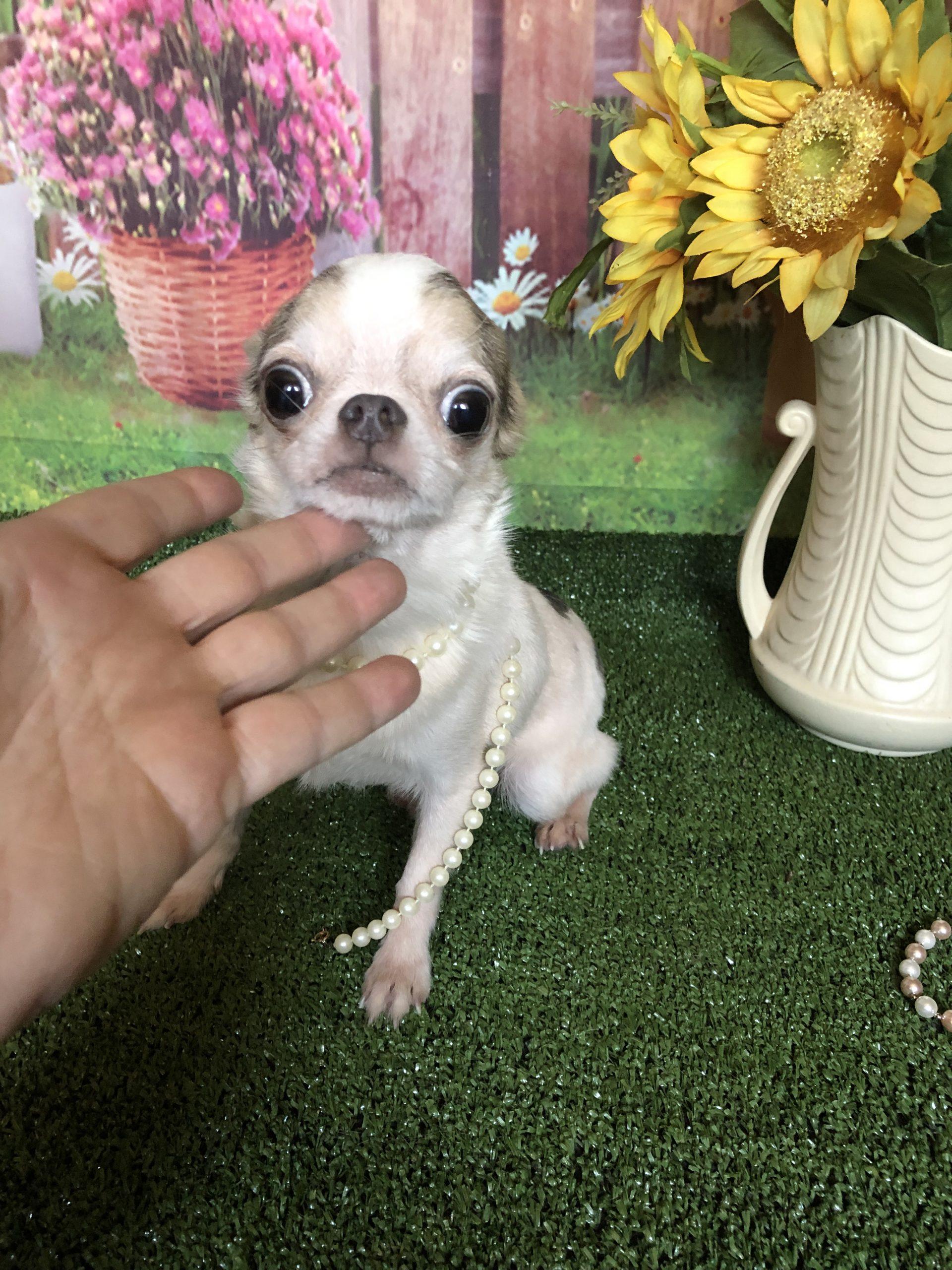 Home Debs Chihuahuas